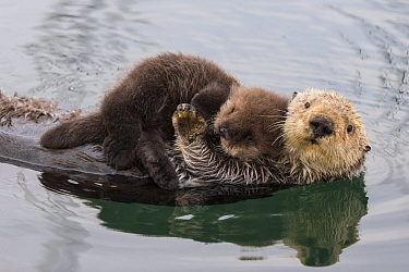 Sea Otter (Enhydra lutris) mother and three day old newborn pup, Monterey Bay, California