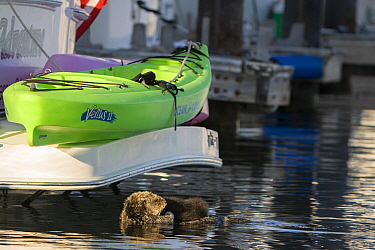 Sea Otter (Enhydra lutris) mother and three day old newborn pup in harbor, Monterey Bay, California