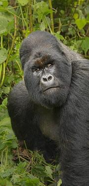 Mountain Gorilla (Gorilla gorilla beringei) silverback, Virunga National Park, Democratic Republic of the Congo