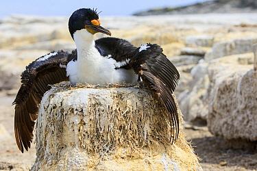 Blue-eyed Cormorant (Phalacrocorax atriceps) spreading wings over nest, Sea Lion Island, Falkland Islands