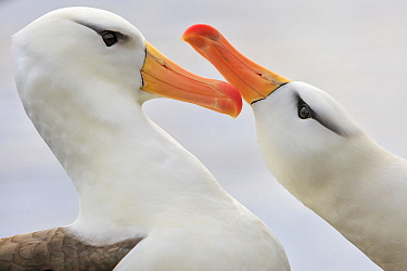 Black-browed Albatross (Thalassarche melanophrys) pair courting, Saunders Island, Falkland Islands