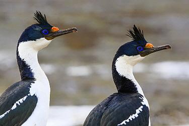 Blue-eyed Cormorant (Phalacrocorax atriceps) pair, Sea Lion Island, Falkland Islands