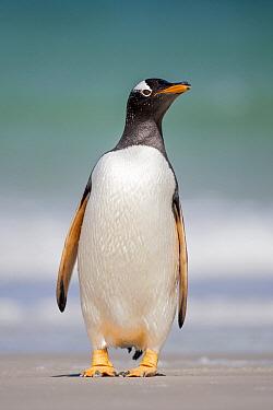 Gentoo Penguin (Pygoscelis papua), Falkland Islands