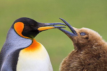 King Penguin (Aptenodytes patagonicus) chick begging for food, Saunders Island, Falkland Islands