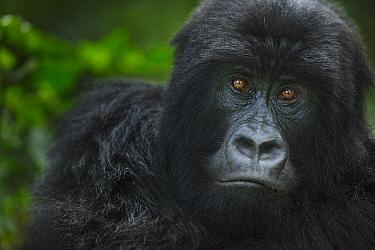 Mountain Gorilla (Gorilla gorilla beringei) female, Virunga National Park, Democratic Republic of the Congo