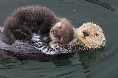 Sea Otter (Enhydra lutris) mother with three day old newborn pup, Monterey Bay, California