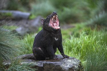 Tasmanian Devil (Sarcophilus harrisii) in defensive posture, Tasmania, Australia