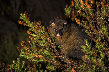 Common Brush-tailed Possum (Trichosurus vulpecula) at night, Cradle Mountain-Lake Saint Clair National Park, Tasmania, Australia