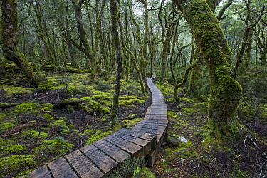 Wooden path winding through rainforest, Cradle Mountain-Lake Saint Clair National Park, Tasmania, Australia