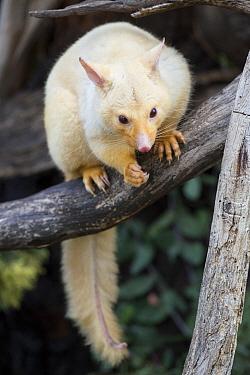 Common Brush-tailed Possum (Trichosurus vulpecula), golden color morph, Bonorong Wildlife Sanctuary, Tasmania, Australia