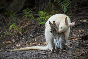 Red-necked Wallaby (Macropus rufogriseus), white-morph mother, grooming brown joey, Bruny Island, Tasmania, Australia