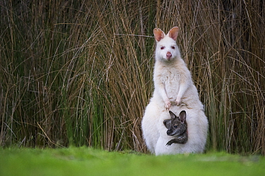 Red-necked Wallaby (Macropus rufogriseus), white-morph mother, with brown joey, Bruny Island, Tasmania, Australia