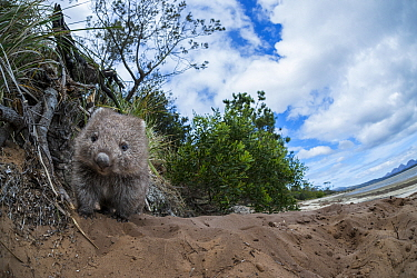 Common Wombat (Vombatus ursinus) on coast, Coles Bay, Tasmania, Australia