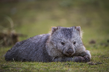 Common Wombat (Vombatus ursinus), Maria Island National Park, Tasmania, Australia