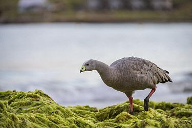Cape Barren Goose (Cereopsis novaehollandiae) at coast, Maria Island National Park, Tasmania, Australia
