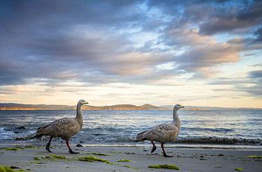 Cape Barren Goose (Cereopsis novaehollandiae) pair on beach, Maria Island National Park, Tasmania, Australia