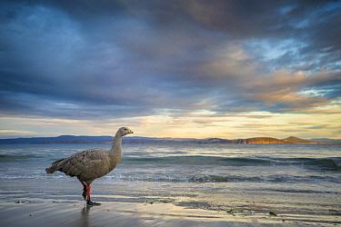 Cape Barren Goose (Cereopsis novaehollandiae) on beach, Maria Island National Park, Tasmania, Australia