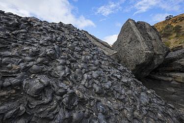 Black fossils, Fossil Cliffs, Maria Island National Park, Tasmania, Australia