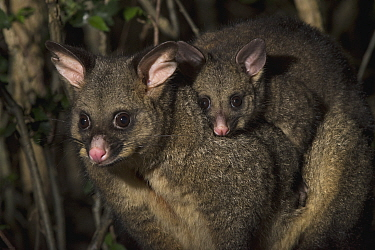 Common Brush-tailed Possum (Trichosurus vulpecula) mother with young at night, Tasmania, Australia