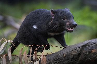 Tasmanian Devil (Sarcophilus harrisii) climbing log, Tasmania, Australia
