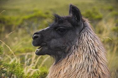 Llama (Lama glama), Andes, Ecuador