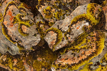 Moss growing in rings on boulder, Rakaia River Valley, Canterbury, South Island, New Zealand