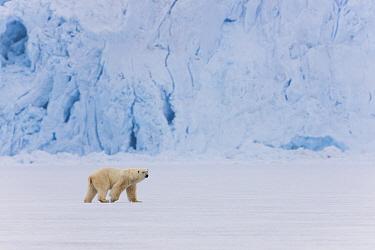 Polar Bear (Ursus maritimus) male walking on frozen fjord in front of glacier, Svalbard, Norway