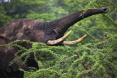 African Elephant (Loxodonta africana) browsing, Ngorongoro Conservation Area, Tanzania