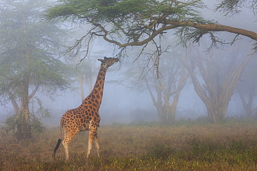 Rothschild Giraffe (Giraffa camelopardalis rothschildi) browsing in fog, Lake Nakuru National Park, Kenya