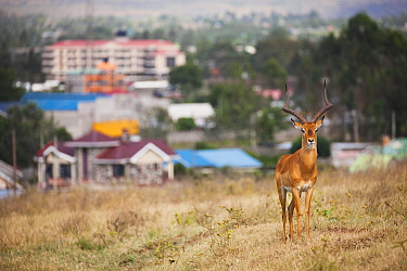 Impala (Aepyceros melampus) male with city in background, Nakuru, Lake Nakuru National Park, Kenya