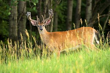 White-tailed Deer (Odocoileus virginianus) buck in velvet, North America