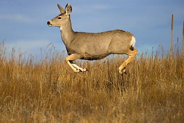 Mule Deer (Odocoileus hemionus) doe jumping, North America