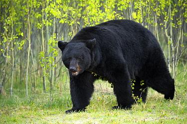 Black Bear (Ursus americanus) male, North America