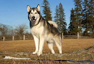Alaskan Malamute (Canis familiaris) male