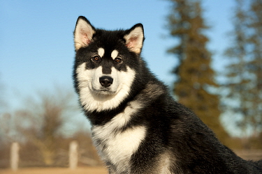 Alaskan Malamute (Canis familiaris) puppy