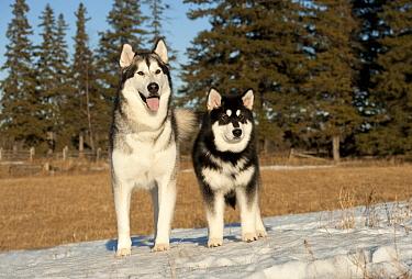 Alaskan Malamute (Canis familiaris) parent and puppy in snow