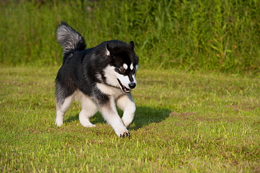 Alaskan Malamute (Canis familiaris) running