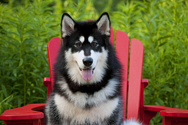 Alaskan Malamute (Canis familiaris)