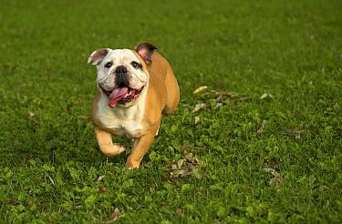 English Bulldog (Canis familiaris) female running