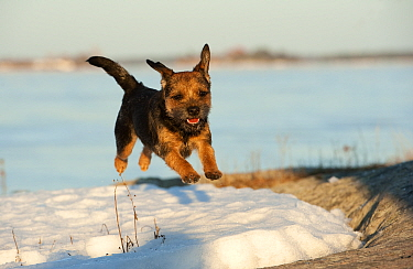 Border Terrier (Canis familiaris) running in snow