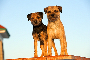 Border Terrier (Canis familiaris) male and female
