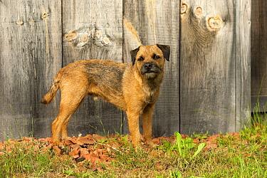 Border Terrier (Canis familiaris)