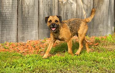 Border Terrier (Canis familiaris) running