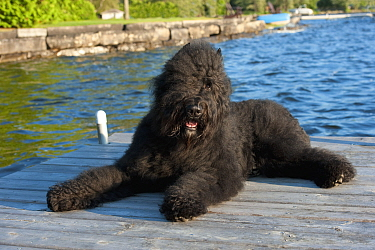 Bouvier des Flandres (Canis familiaris) peeking out from its fur