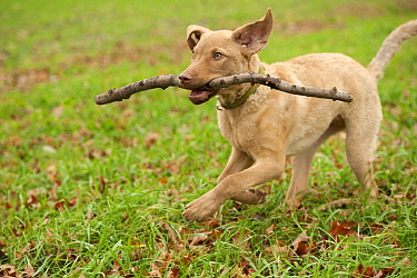 Chesapeake Bay Retriever (Canis familiaris) puppy playing with a stick