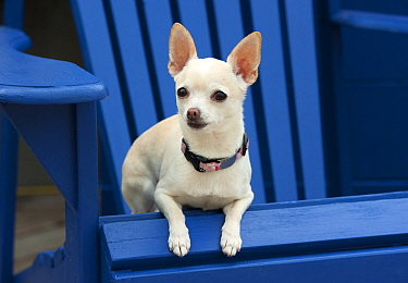 Chihuahua (Canis familiaris) sitting on chair