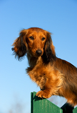 Miniature Long Haired Dachshund (Canis familiaris)