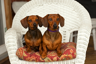 Miniature Smooth Dachshund (Canis familiaris) male and female on wicker chair