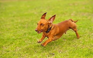 Miniature Smooth Dachshund (Canis familiaris) running