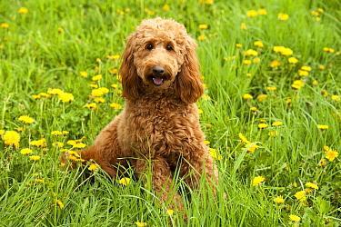 Goldendoodle (Canis familiaris)